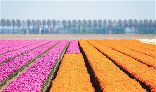 航拍荷兰郁金香田 百万朵鲜花盛开如万花筒般绚丽