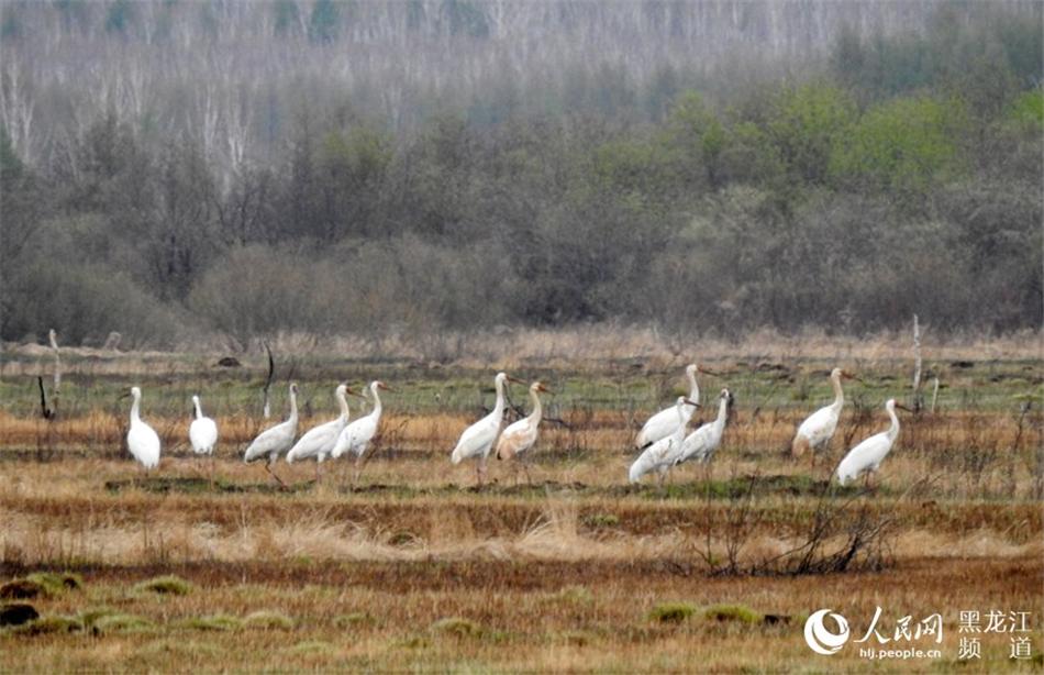国家一级保护动物白鹤现身古里河国家湿地公园