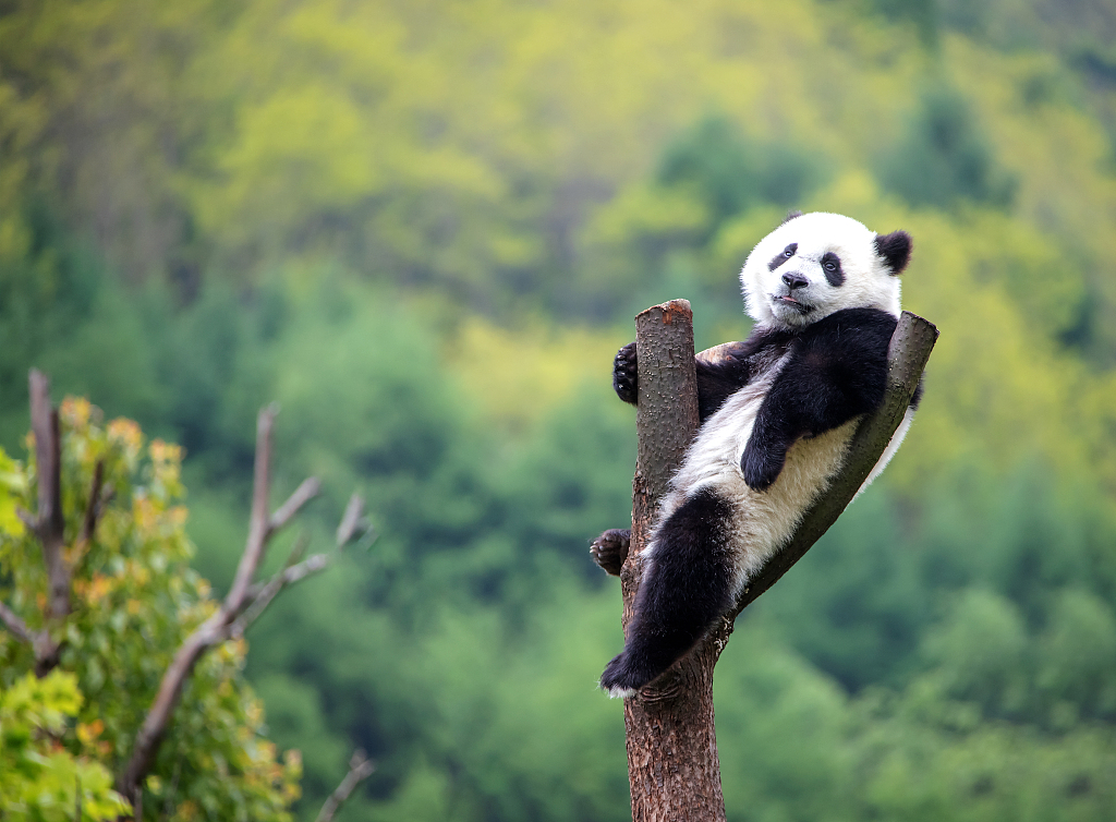 四川阿坝:保护基地内大熊猫抱团玩耍萌态十足