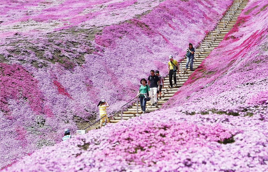 北海道芝樱盛放 超梦幻花海织就粉紫色地毯