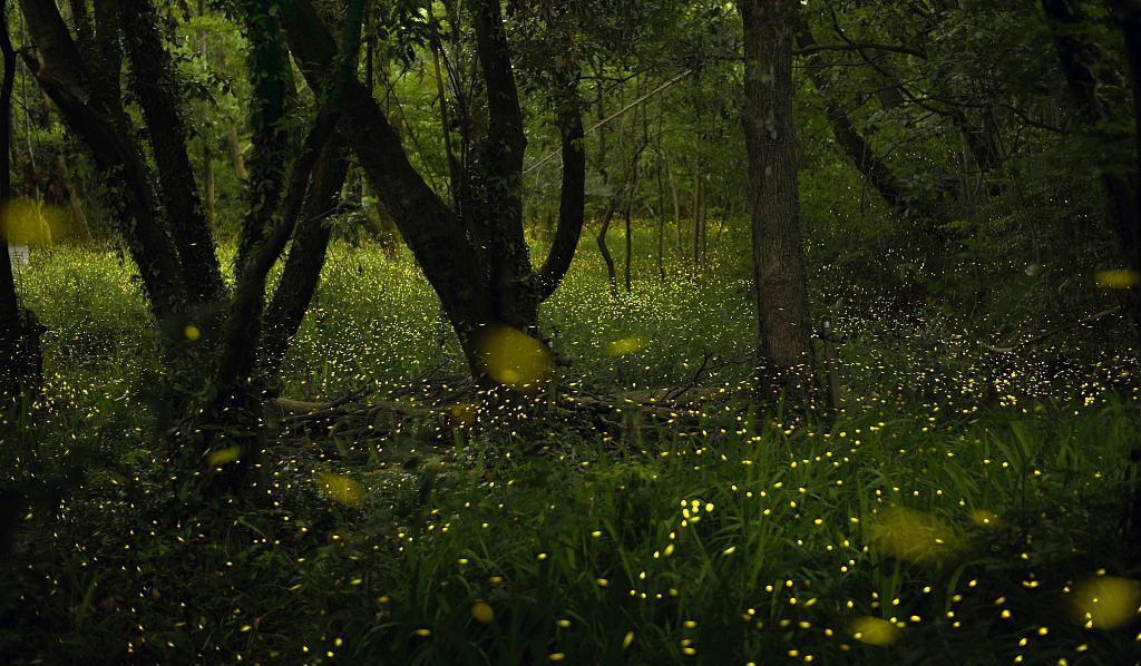 日本摄影师拍摄林地萤火虫 流光漫天似童话世界