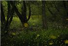 林地萤火虫 似童话世界