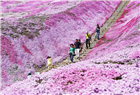 夢幻花海織就粉紫色地毯