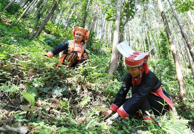 广西金秀:林下灵芝助增收