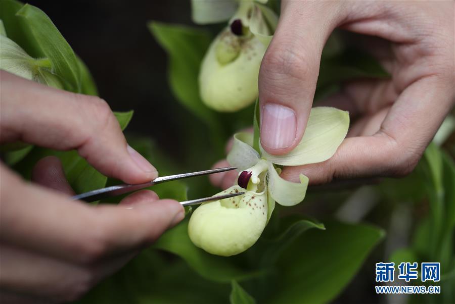 走进四川黄龙自然保护区:感受杓兰之美