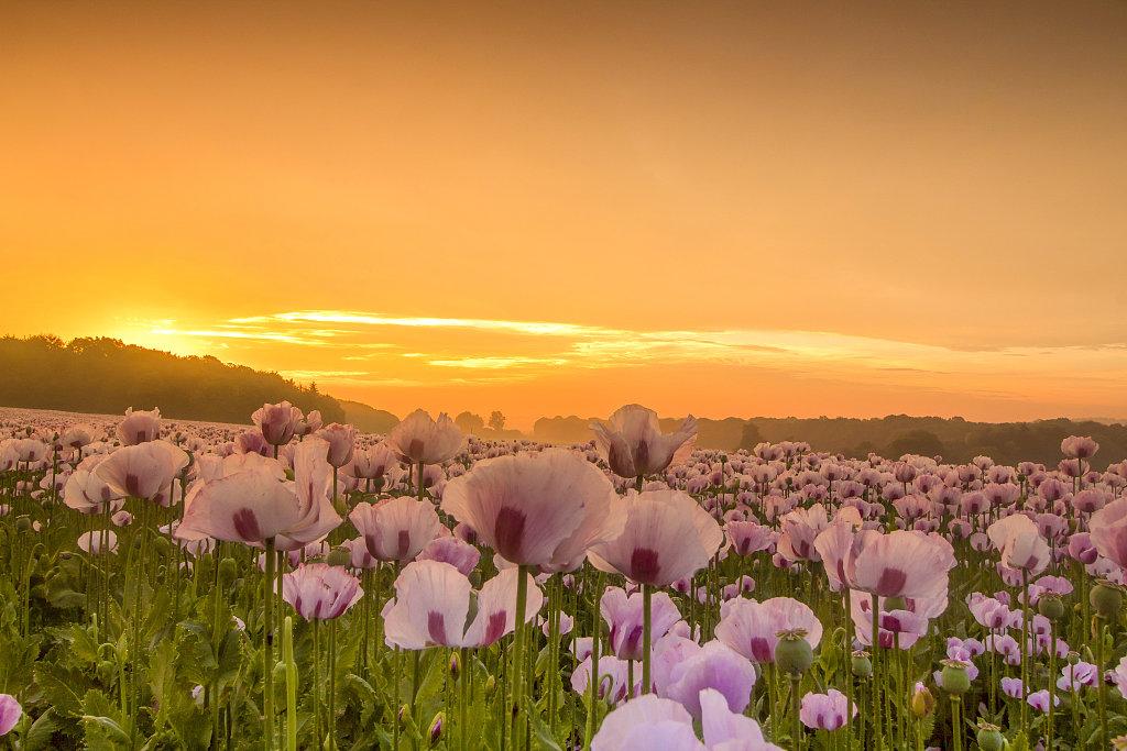 少女心爆棚!英国粉红花海与粉色天空相互映衬如诗如画
