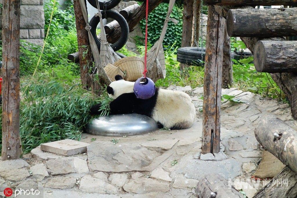 """北京海外房产展_暑假即将来临 大熊猫吃饱喝足""""思考熊生"""" - 图片 - 海外网"""