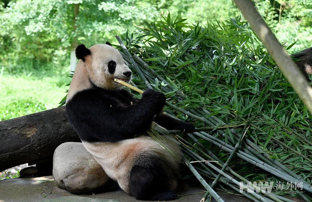 """""""海归""""大熊猫的川式生活 双语照料享受""""小灶"""""""