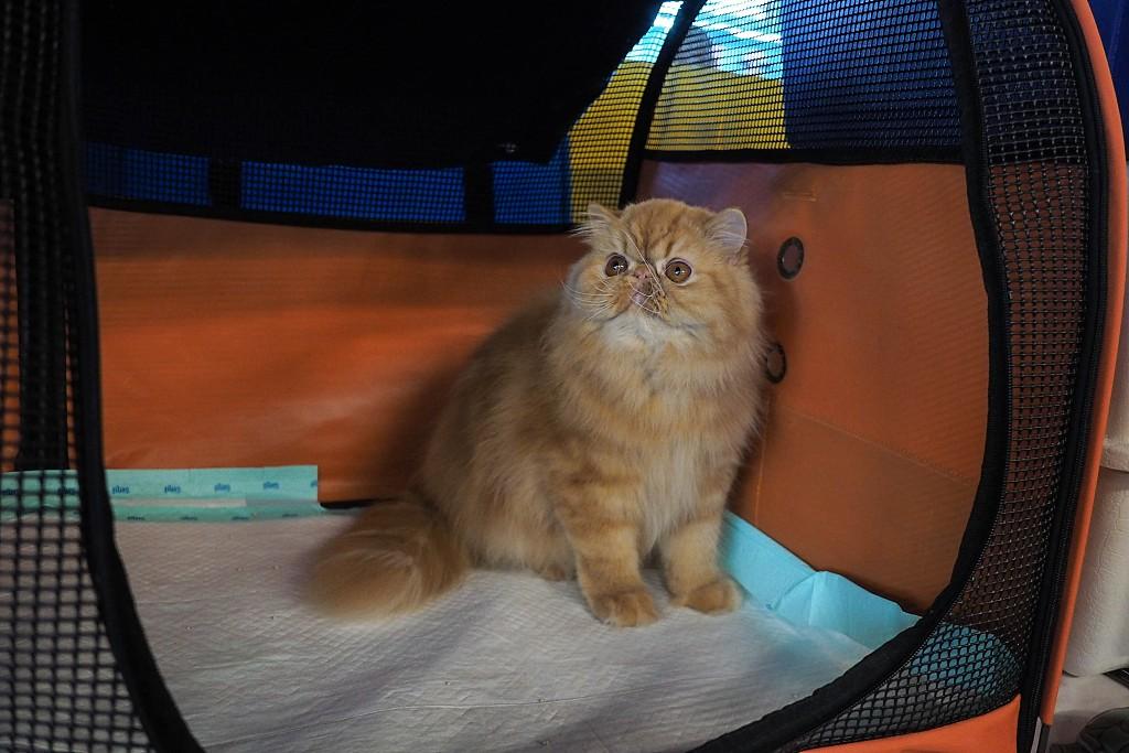 印尼雅加达举办国际猫展 大批猫咪现场卖萌