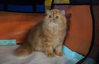 印尼雅加达举办国际猫展