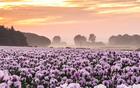 英国粉红花海如诗如画