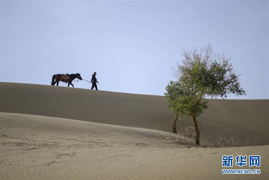 """新疆:46岁的护林员守护""""沙漠英雄树"""""""