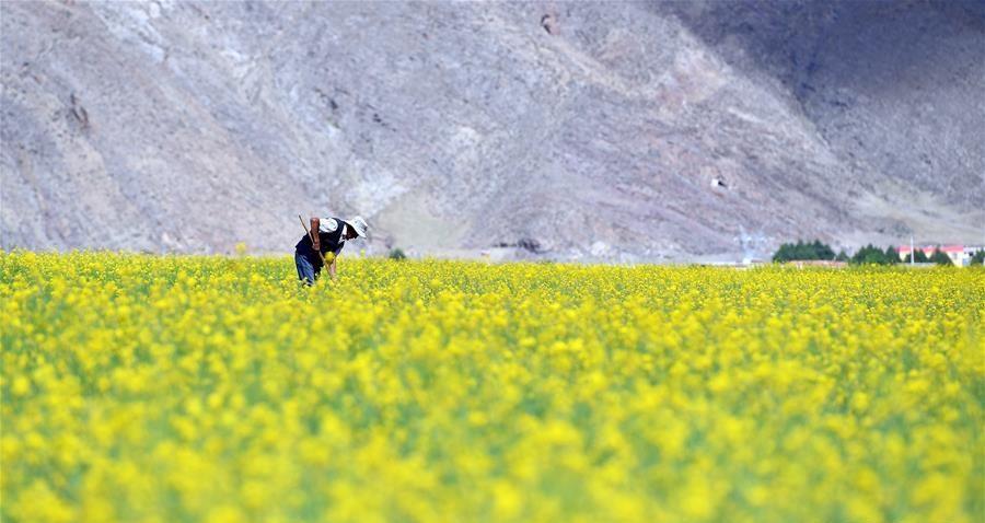 西藏:油菜花开似金毯