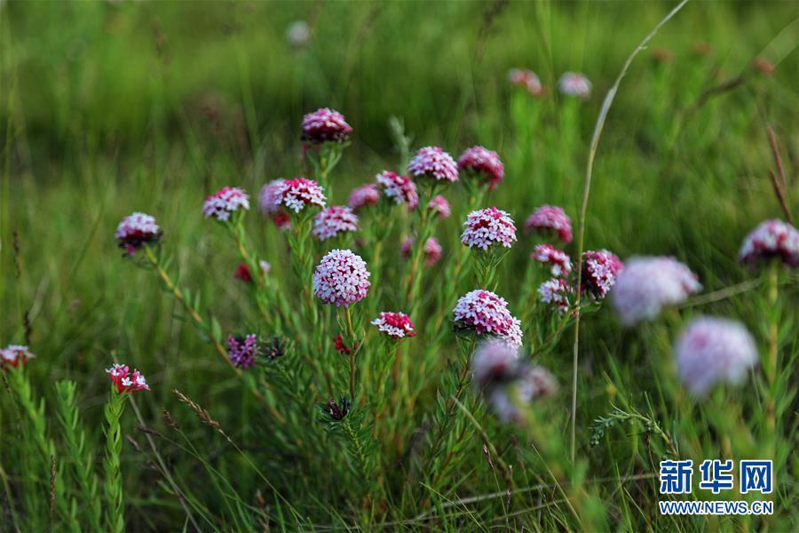 原子城:鲜花开满草原