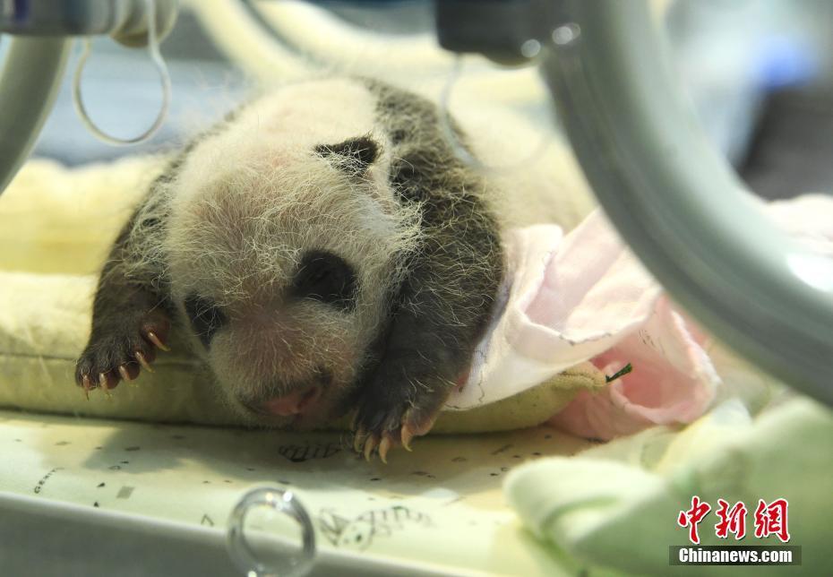 重庆动物园两只大熊猫同日分别产下双胞胎 - 图片