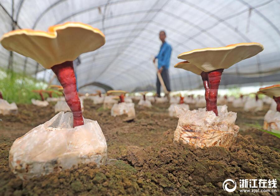 湖州:种植灵芝效益高