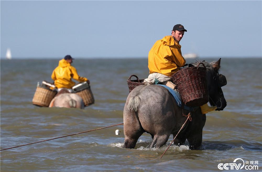 """比利时""""骑士渔民""""海边骑马捞鱼虾"""