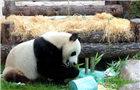 旅俄大熊猫迎生日