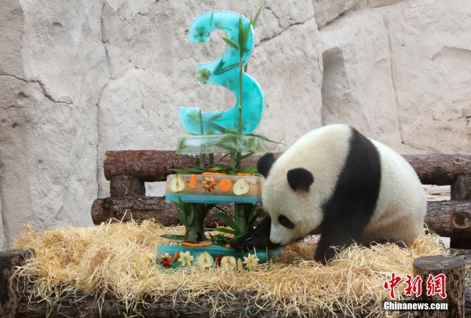 旅俄大熊猫迎生日 莫斯科动物园办庆生派对