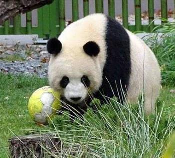 旅德大熊猫