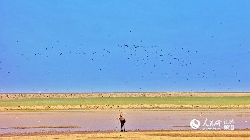 走近盐城大丰世界自然遗产地感受鹿鸟和鸣
