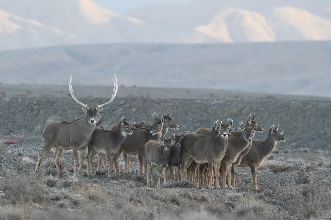 甘肃盐池湾保护区十年新增白唇鹿190头
