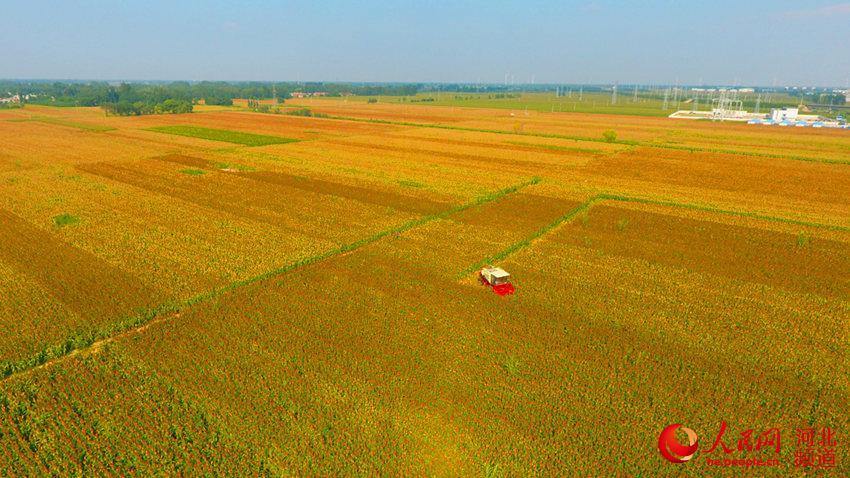 河北阜城:10万亩红高粱喜迎丰收