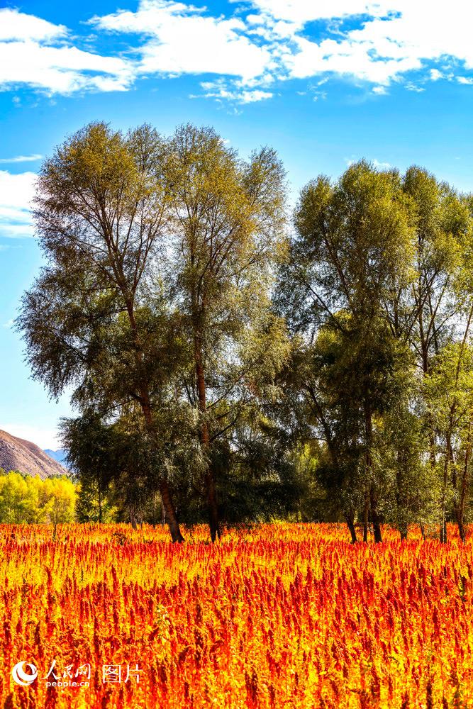 山丹藜麦红满天