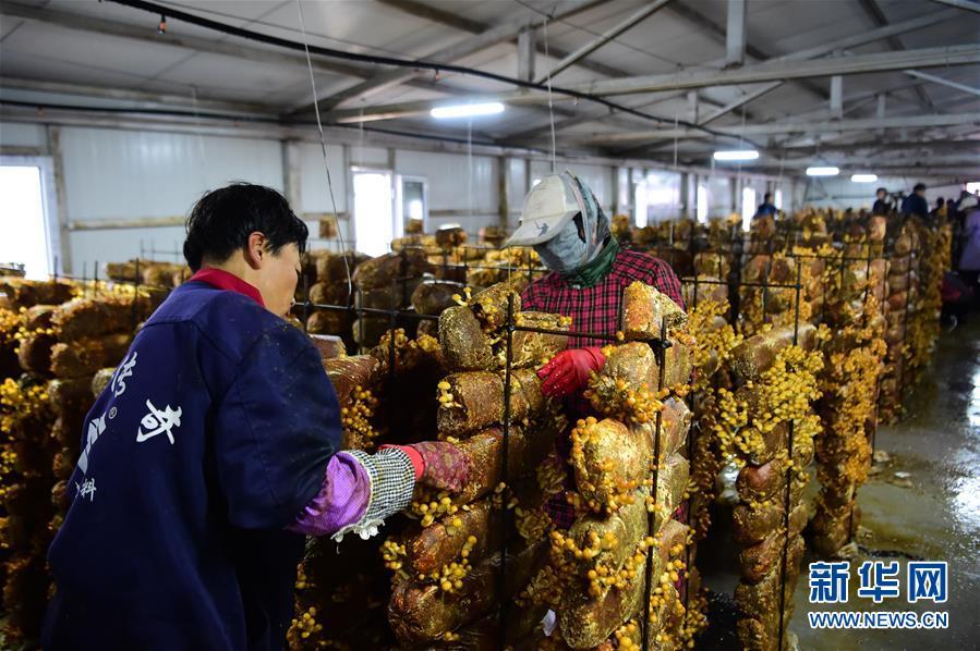 内蒙古尼尔基镇:食用菌产业助力脱贫增收