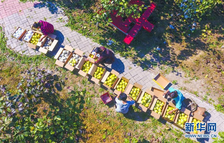 河北阜城:万亩梨园迎来采摘季