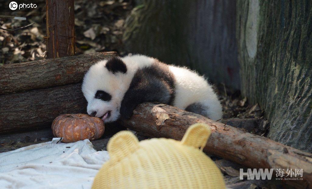 成都大熊猫幼仔上演钻竹筐 调皮可爱萌翻游人