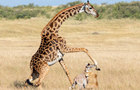 長頸鹿媽媽誤踢死新生兒