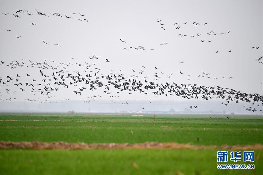 河南长垣:生态环境改善 黄河湿地群雁来临
