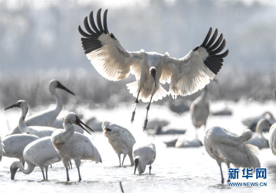 从白鹤迁徙路线之变看生态文明建设