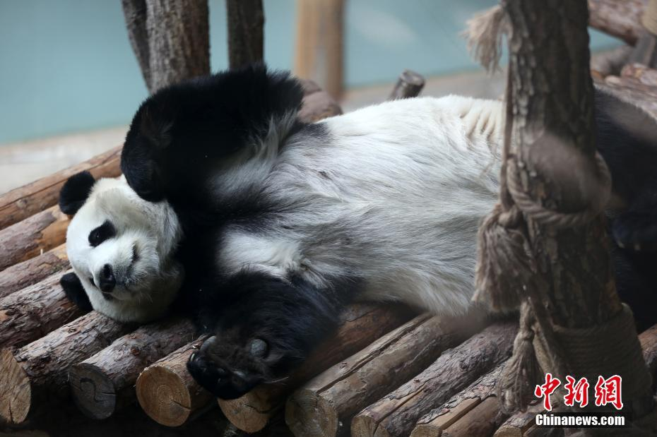 大熊猫青藏高原过首冬 喜动能吃无高反