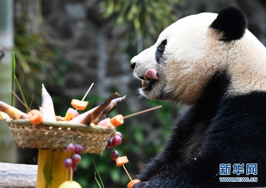 """海口:大熊猫""""撸串""""迎新年"""