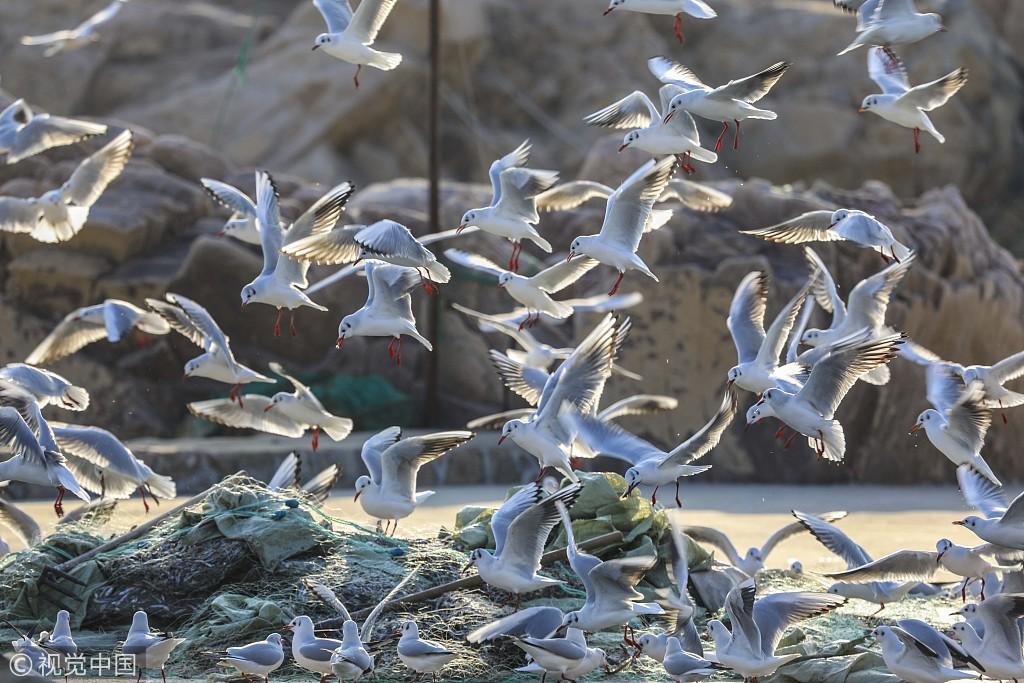 青岛:海鸥扎堆觅食 渔港成海鸥天堂