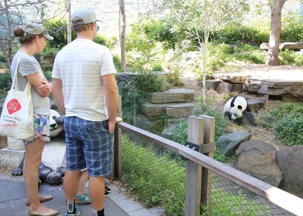 大熊猫在澳太受游客欢迎!当地动物园欲延长租期