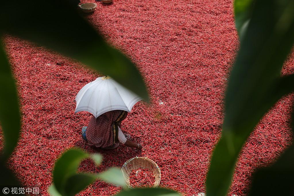 孟加拉国农民晾晒红辣椒 色彩鲜艳如铺上红地毯