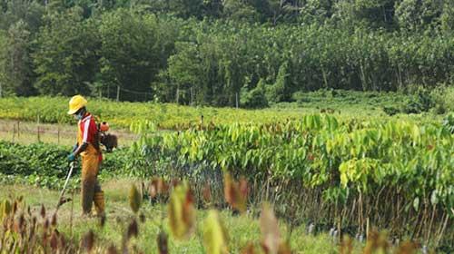 """【""""一带一路""""农业行】老牌国企为老挝橡胶产业带来新生机"""