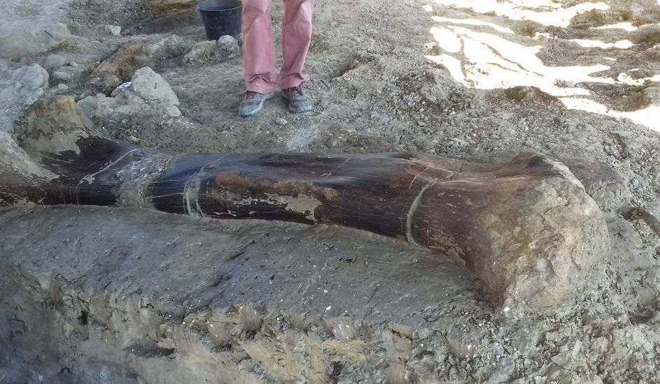法国发掘1.4亿年前恐龙股骨 2米长半吨重保存完好