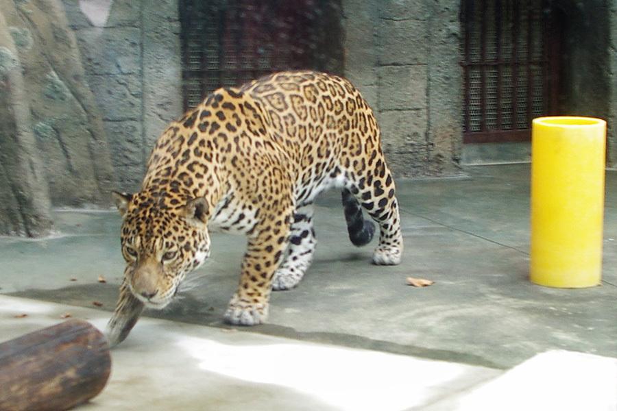 上海动物园美洲豹亮相日本:受游
