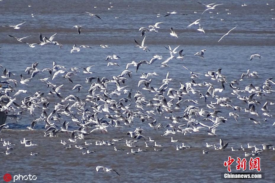 哈尔滨松花江段百万候鸟大迁徙 场面壮观