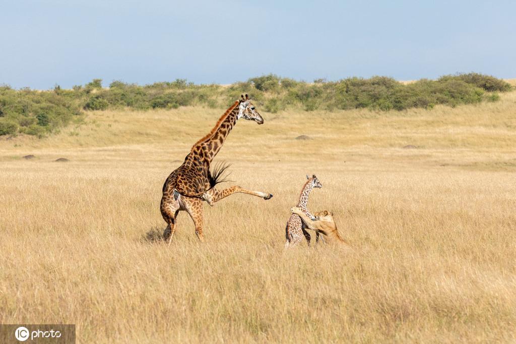 伤心欲绝!长颈鹿妈妈为击退母狮 将新生儿误踢致死