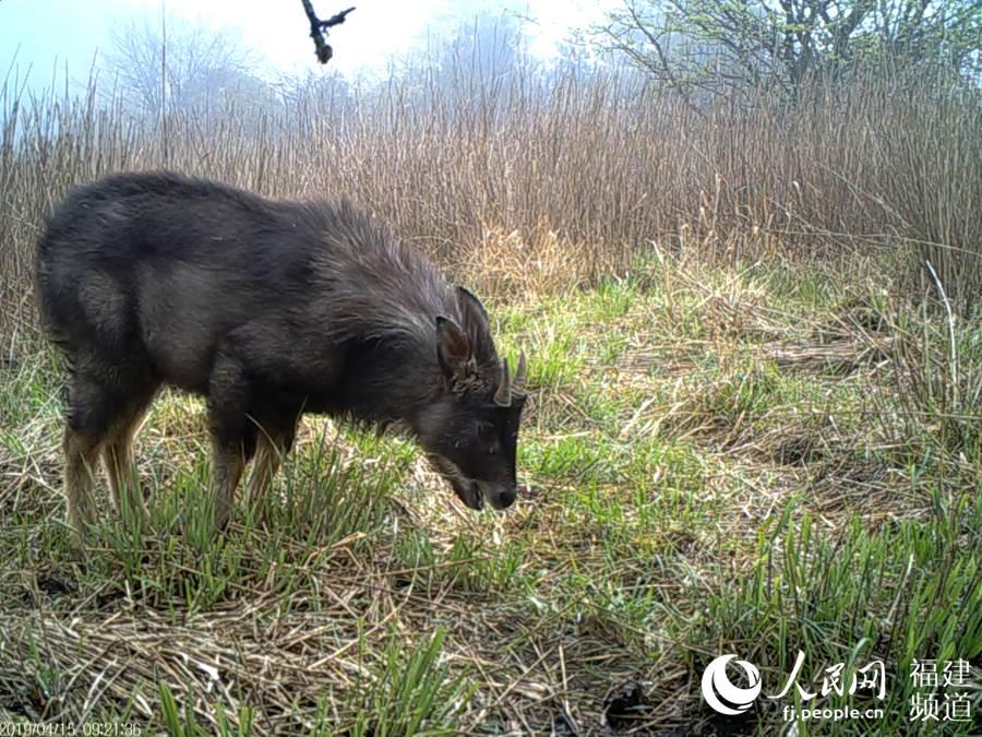 红外相机拍摄到的野生鬣羚。鬣羚是国家二级重点保护动物,主要活动于海拔1000-4400米针阔混交林、针叶林或多岩石的杂灌林。武夷山国家公园科研监测中心供图