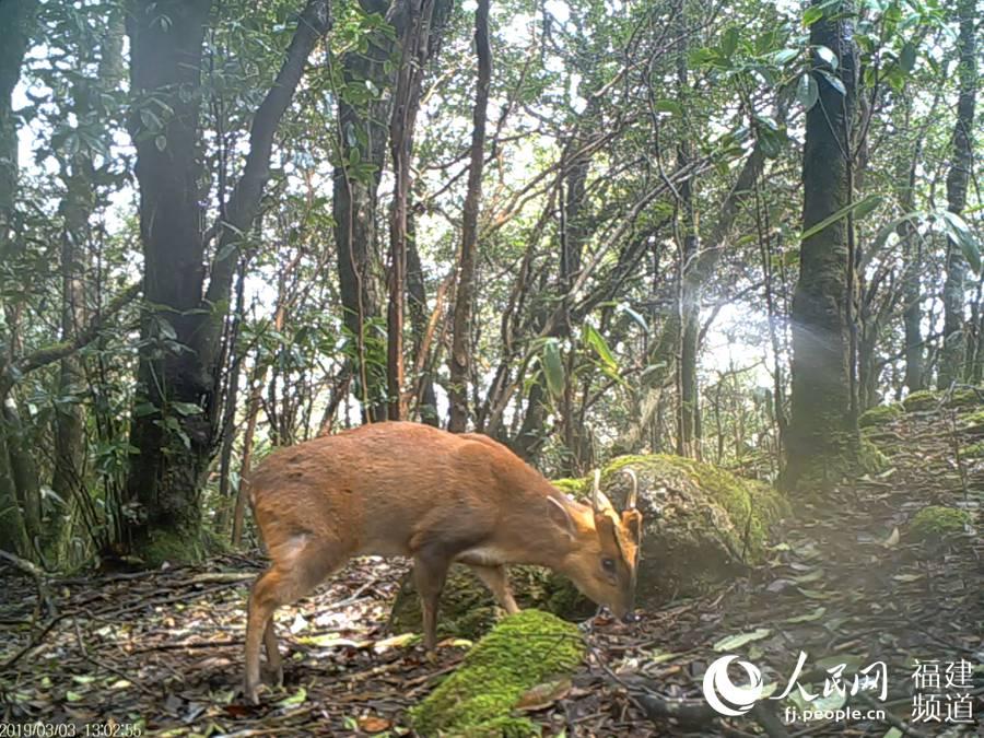 红外相机拍摄到的野生赤麂。赤麂是孤独活动的动物,习性胆小谨慎,多在夜间或清晨、黄昏觅食,白天隐蔽在灌丛中休息。武夷山国家公园科研监测中心供图