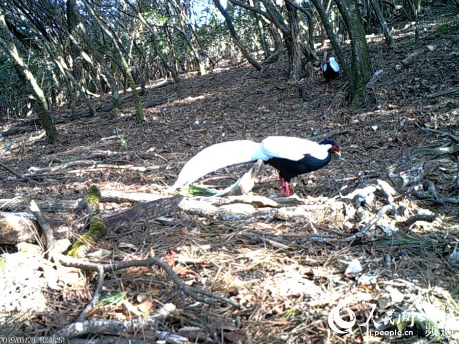 """红外相机拍摄到的野生白鹇。国家二级保护动物,属于大型鸡类。唐代李白曾作诗""""赠黄山胡公求白鹇"""";清朝更把白鹇作为为五品官服的图案。武夷山国家公园科研监测中心供图"""