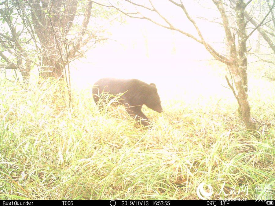 红外相机拍摄到的野生黑熊。黑熊主要在白天活动,善爬树,游泳;能直立行走;身体粗壮,栖息于山地森林。武夷山国家公园科研监测中心供图