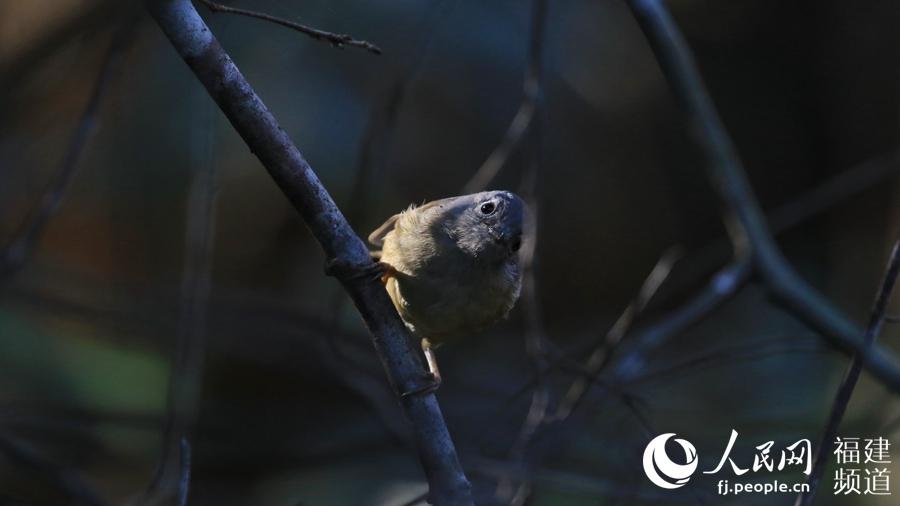 厦门大学环境与生态学院学生曾晨拍摄到的淡眉雀鹛。曾晨供图