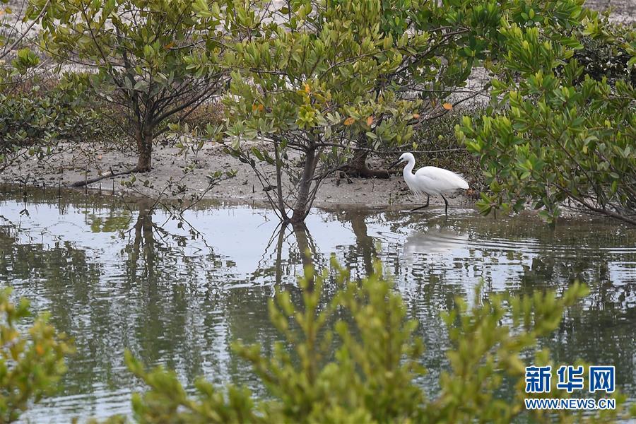 (新华视界)(2)海南陵水:红树林里的白鹭
